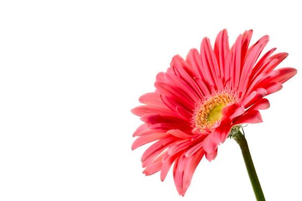 Artistic gerbera flower background stock photo