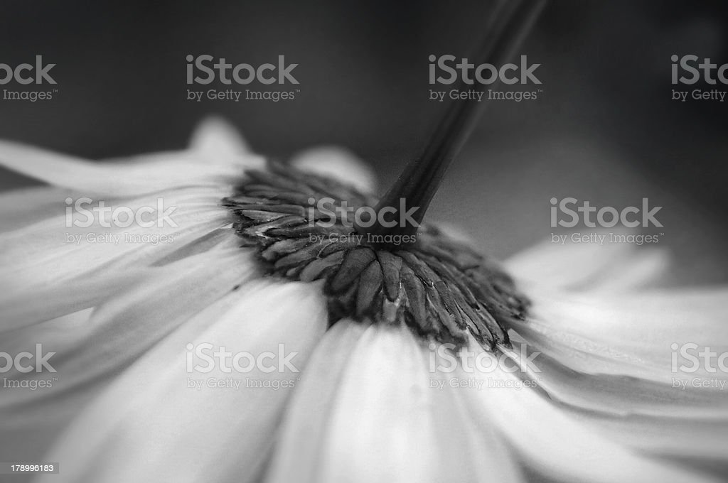 Artistic macro of a daisy flower black and white royalty-free stock photo