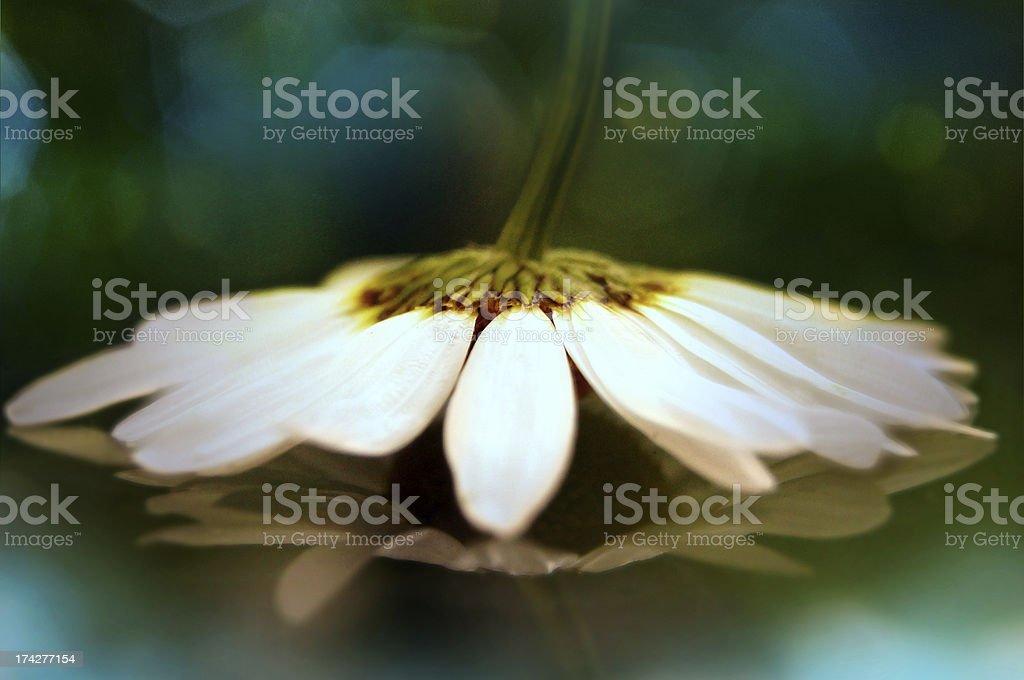 Artistic macro of daisy stock photo