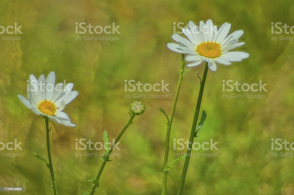 Artistic paint daisies flowers royalty-free stock photo