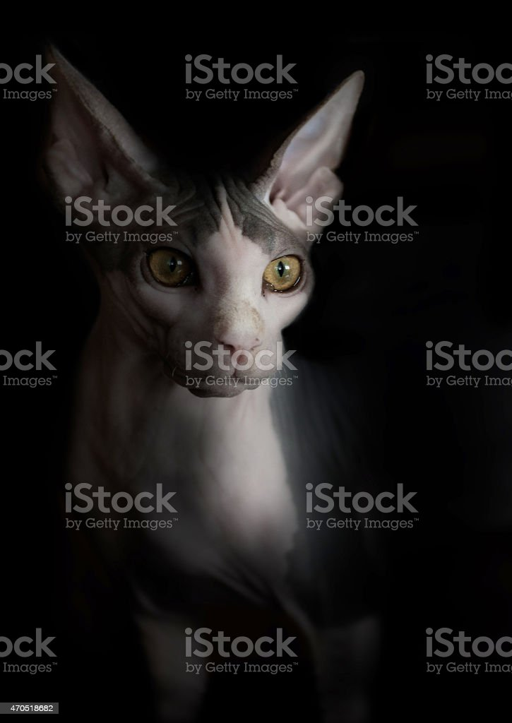 Artistic Sphynx cat portrait. Black background stock photo