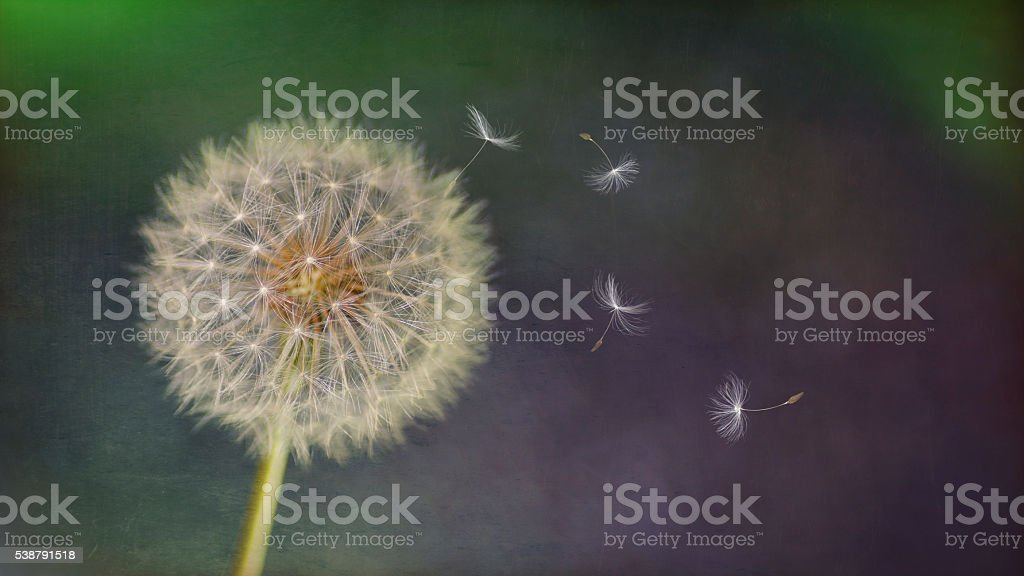 composition artistique-vent texturé de soufflage des graines de pissenlit - Photo