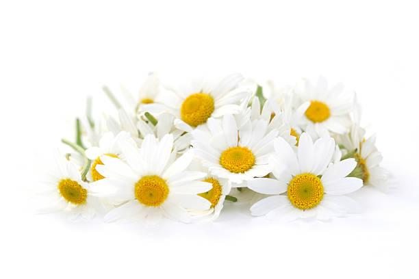 camomille flores - planta de manzanilla fotografías e imágenes de stock