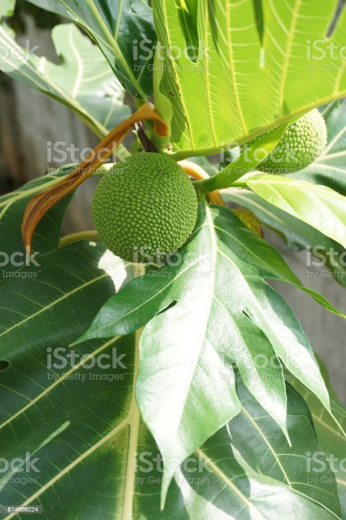 Artocarpus altilis fruit stock photo