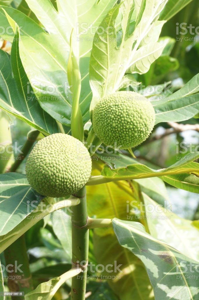 Artocarpus altilis fruit stock photo