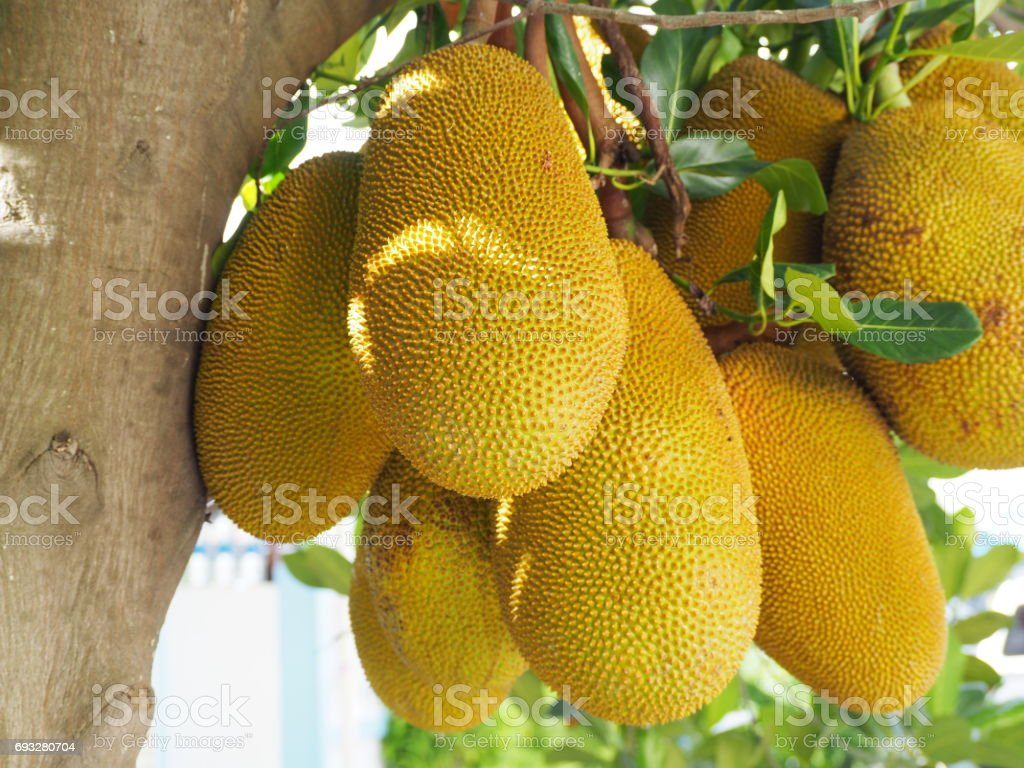 Artocarpus heterophyllus stock photo