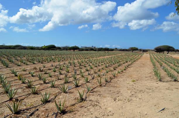 Aruba Aloe Vera Farm stock photo