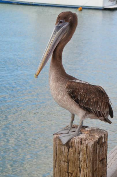 Aruba Brown Pelican stock photo