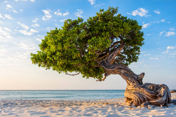 Aruba, Divi divi tree on Eagle Beach stock photo