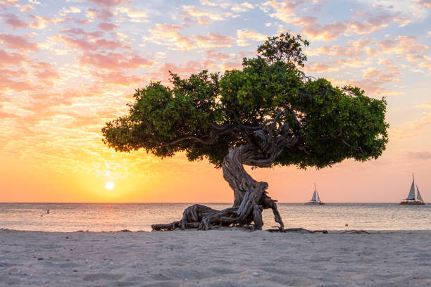 aruba, divi divi tree op eagle beach - aruba stockfoto's en -beelden