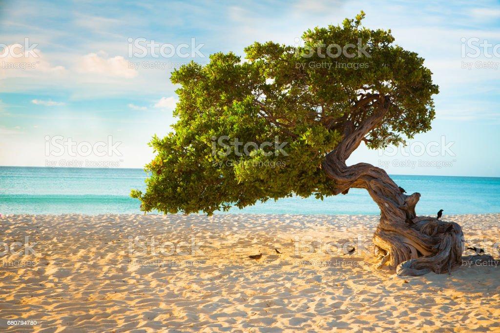 Aruba Divi Divi Tree stock photo