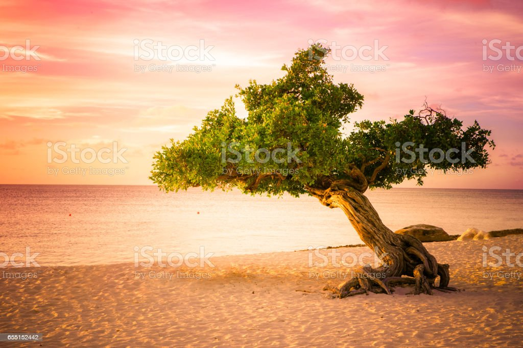 Aruba Divi Divi Tree Sunset stock photo