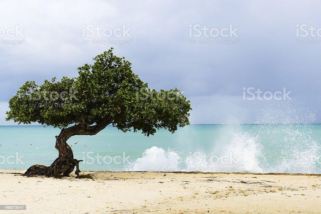 Aruba Divi-Divi tree with wild sea stock photo