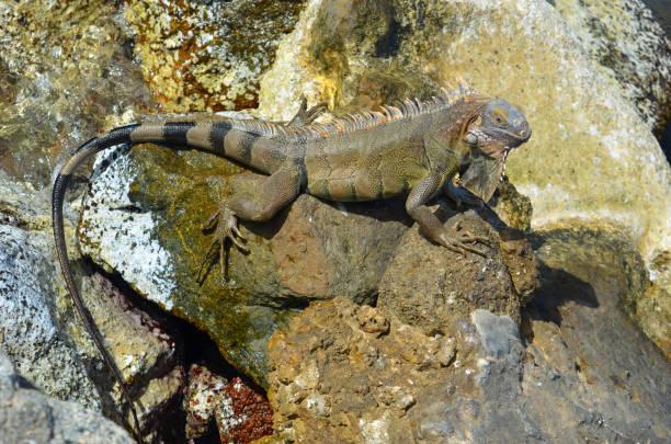 Aruba Green Iguana stock photo