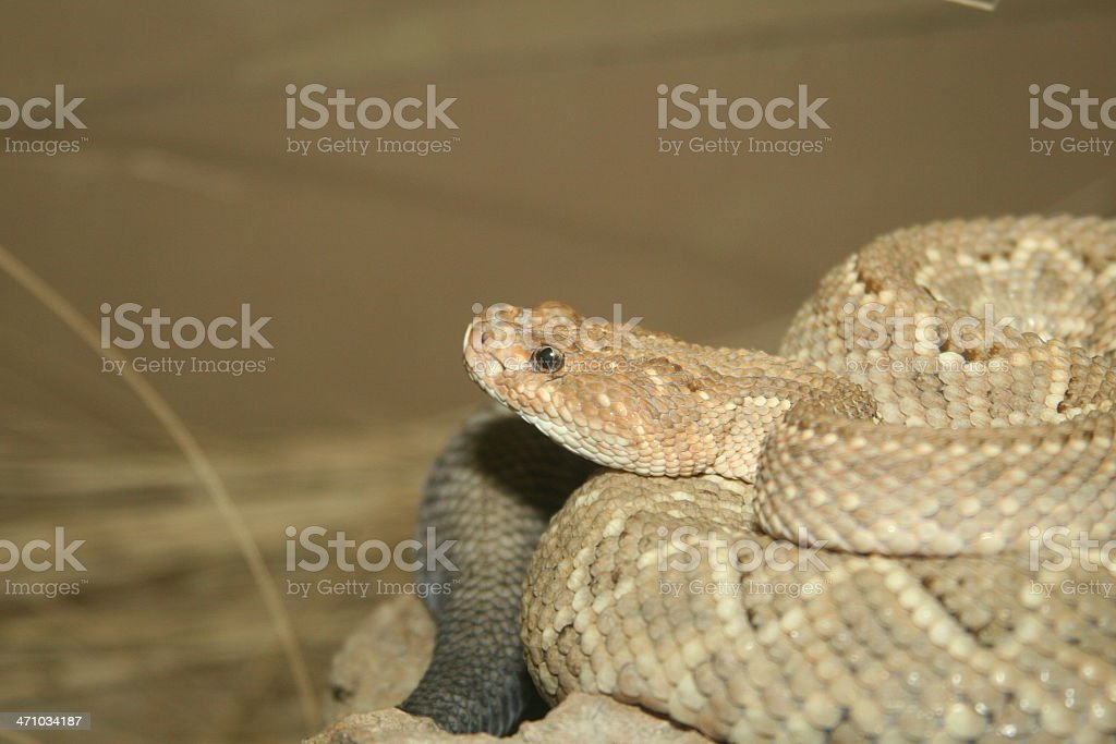 Aruba Island rattlesnake royalty-free stock photo