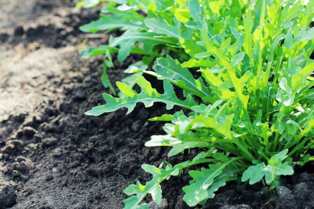 Arugula plant growing in organic vegetable garden. stock photo
