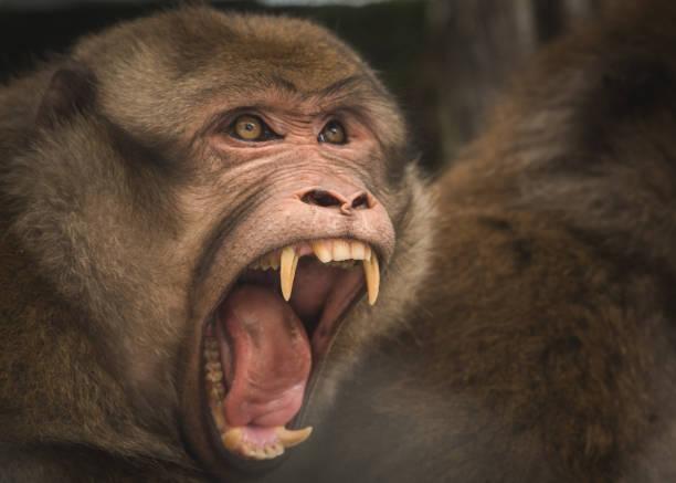 arunachal macaque - macaco foto e immagini stock