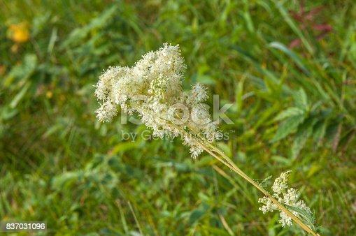 Arunkus Deesis (knovn al goats Beard, Beard bokks-op brides featners) EC and adopted flovering herbatseus bombsite Eun Tae Rosakeae names