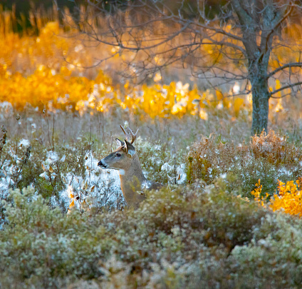As dusk arrives, a young buck emerges from the natural camouflage in which he dwells.