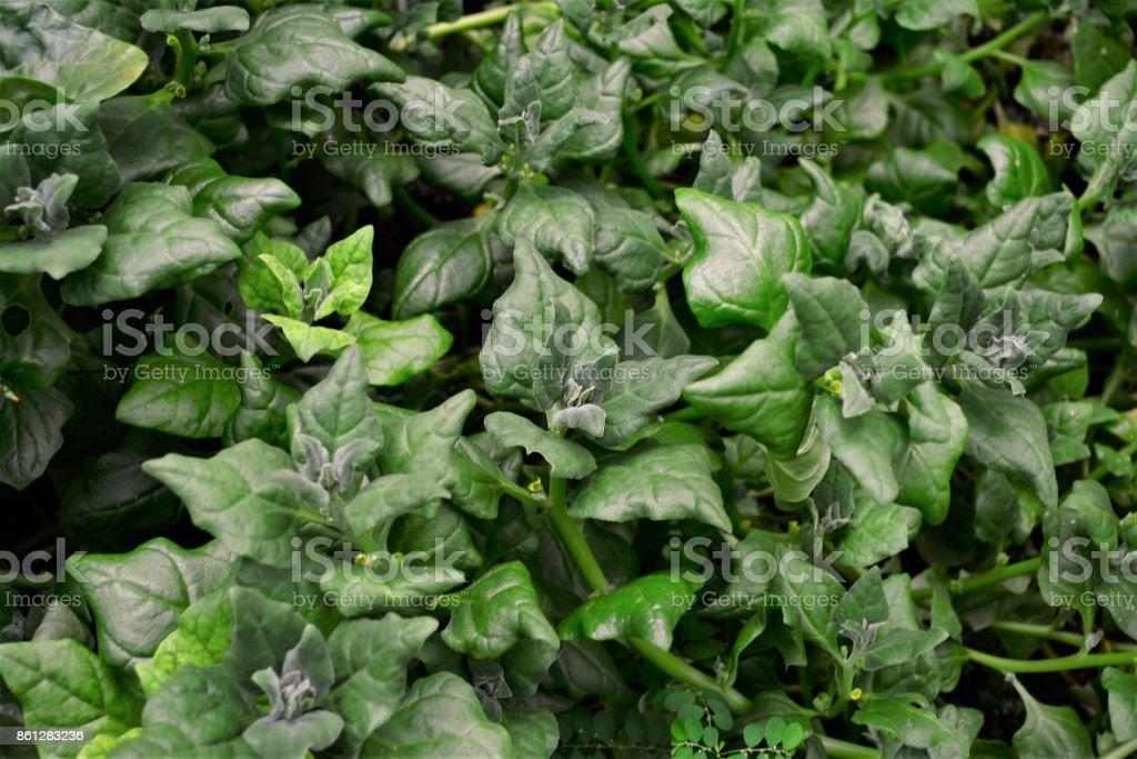 As folhas do espinafre Nova Zelândia stock photo