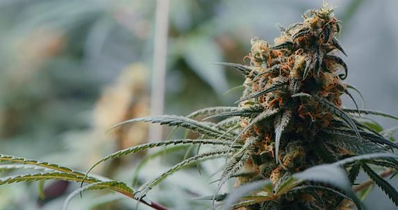Shot of marijuana growing inside of a grow room