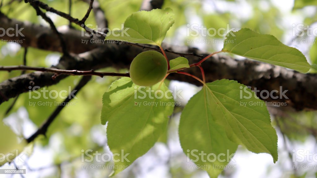 As summer approaches, the apricot tree begins to grow. royalty-free stock photo