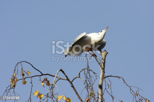 As this gull landed at the very top of a tree almost bare in the autumn sunshine, it immediately adopted a crouching position, wings and tail spread, sharp beak jutting upwards. Seconds later the reason for this defensive posture arrived - a second black-headed gull.