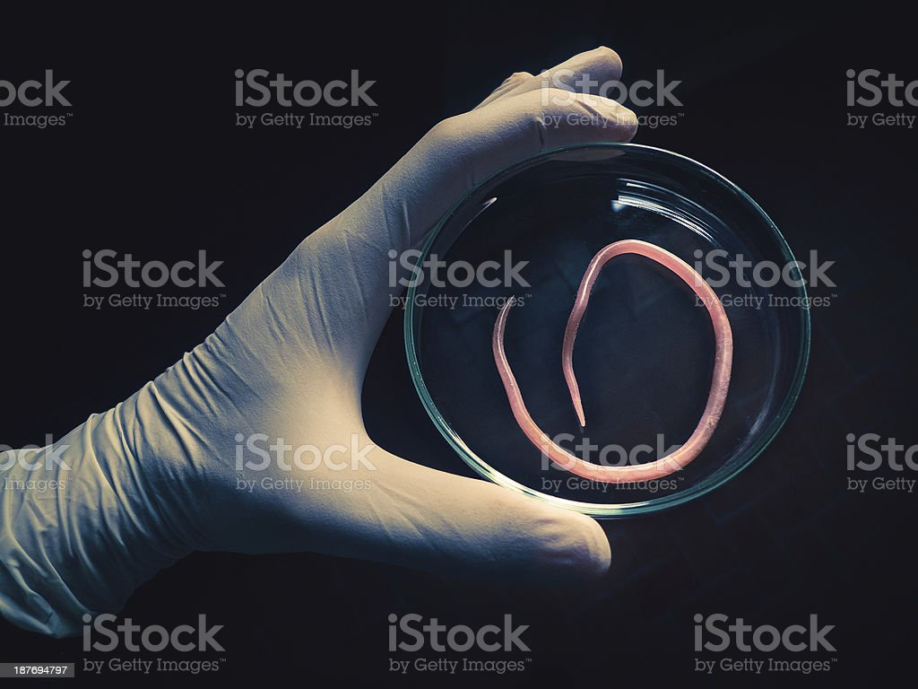 Ascaris nematode parasite on a petri dish royalty-free stock photo