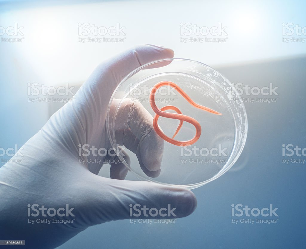 Ascaris nematode parasite on a petri dish stock photo