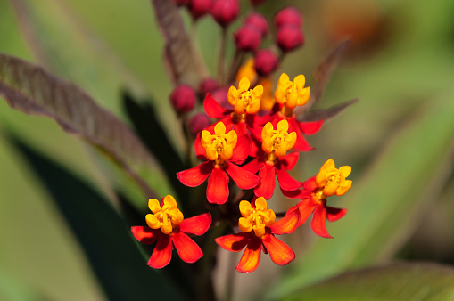 Asclepias curassavica flower or Scarlet milkweed in the garden on green background