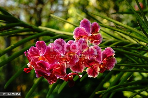 Beautiful vanda orchid flower photographed in Thailand