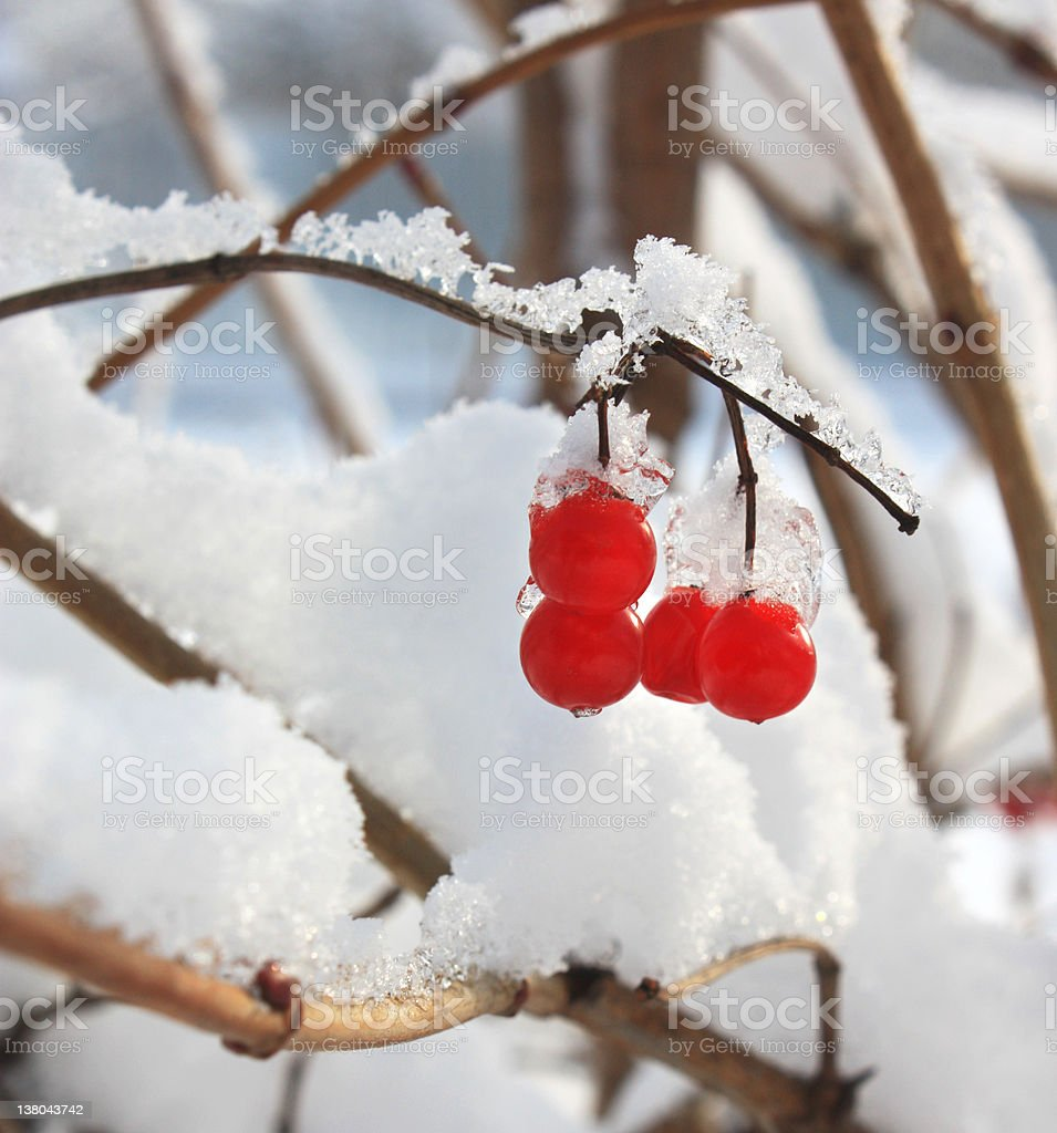 ash berries in snow royalty-free stock photo