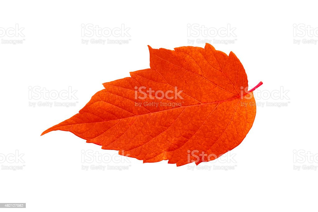 Ash crimson leaf stock photo