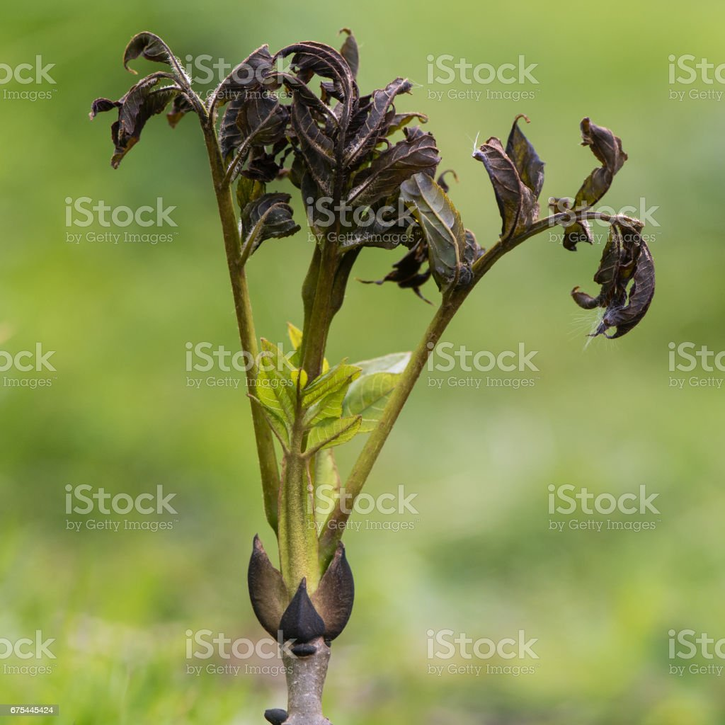 Ash dieback fungus (Hymenoscyphus fraxineus) on European ash royalty-free stock photo