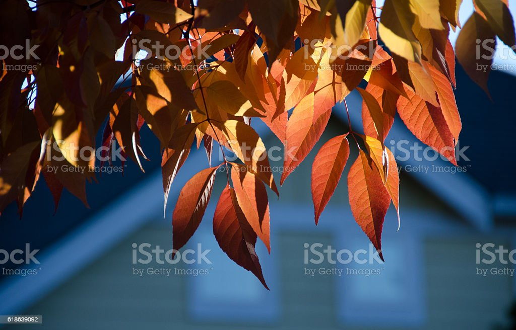 Ash foliage in red colors stock photo