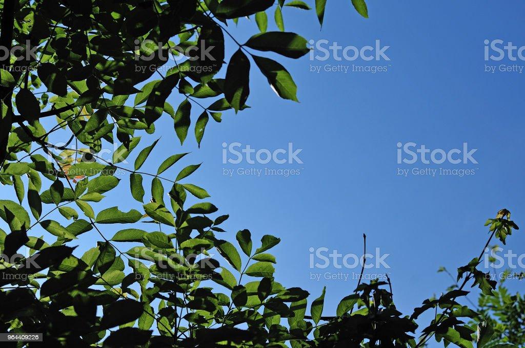 Ash bladeren en blauwe hemel - Royalty-free Achtergrond - Thema Stockfoto