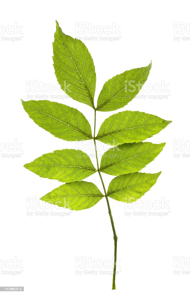 Ash leaves stock photo
