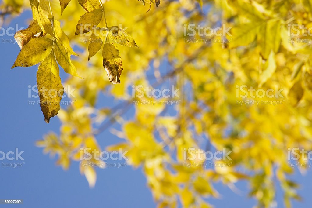 Ash Tree in Autumn royalty-free stock photo
