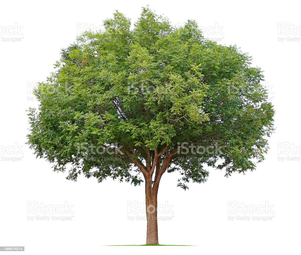 Ash Tree stock photo