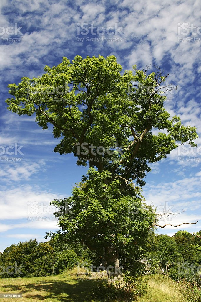 Ash Tree royalty-free stock photo