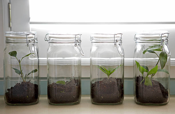 Ash tree sapling in preserving jar stock photo