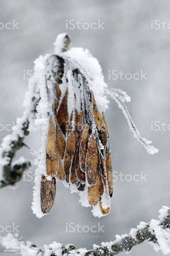Ash tree seeds with snow stock photo