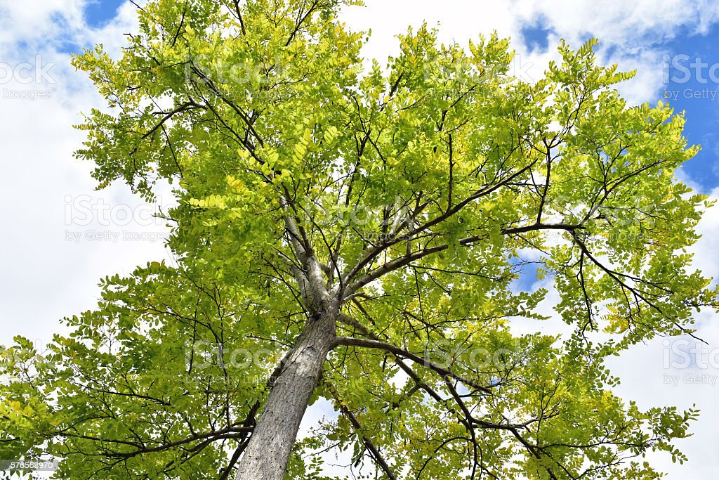 Ash Tree Upshot stock photo