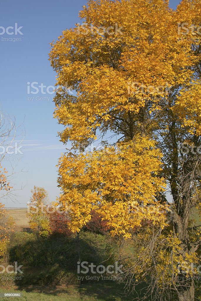 Ash Tree with Copy Space on side royalty-free stock photo