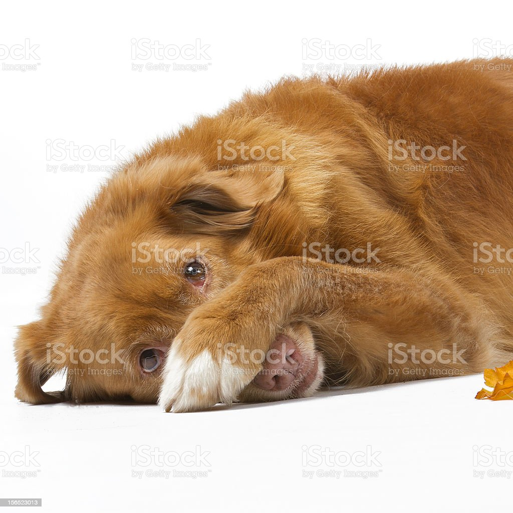 ashamed novia scotia duck tolling retriever stock photo