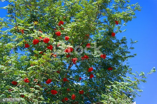 istock ashberry at dry sunny day 473429716