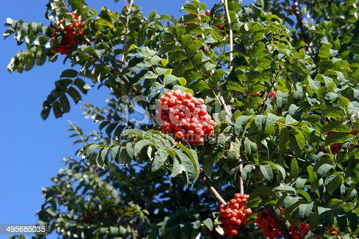 istock ashberry at dry sunny day 495685035