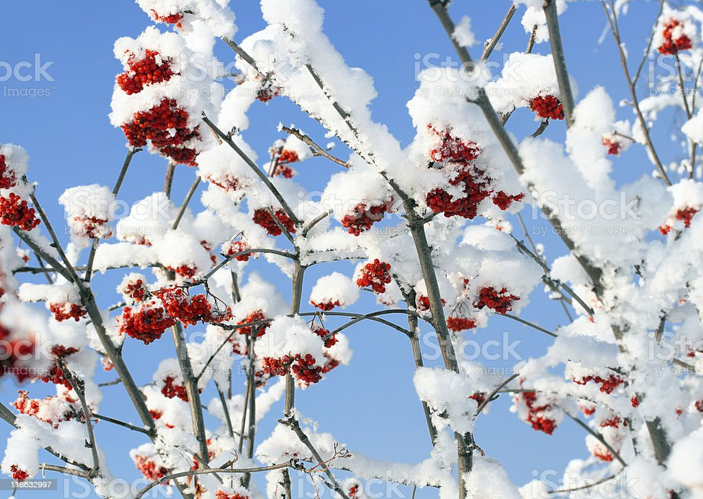 ash-berry branches under snow royalty-free stock photo