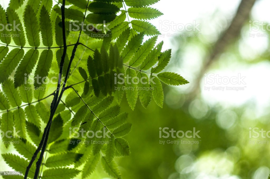 Ashberry leaves 1 stock photo