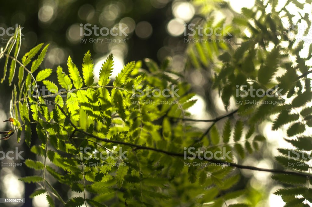 Ashberry leaves 2 stock photo